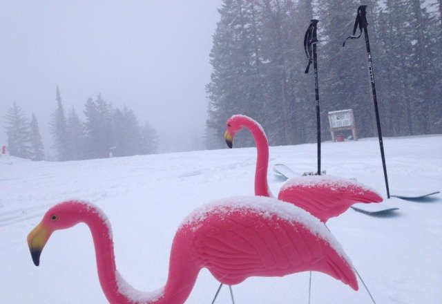 Pink Flamingos hang out while it is snowing at Bluewood