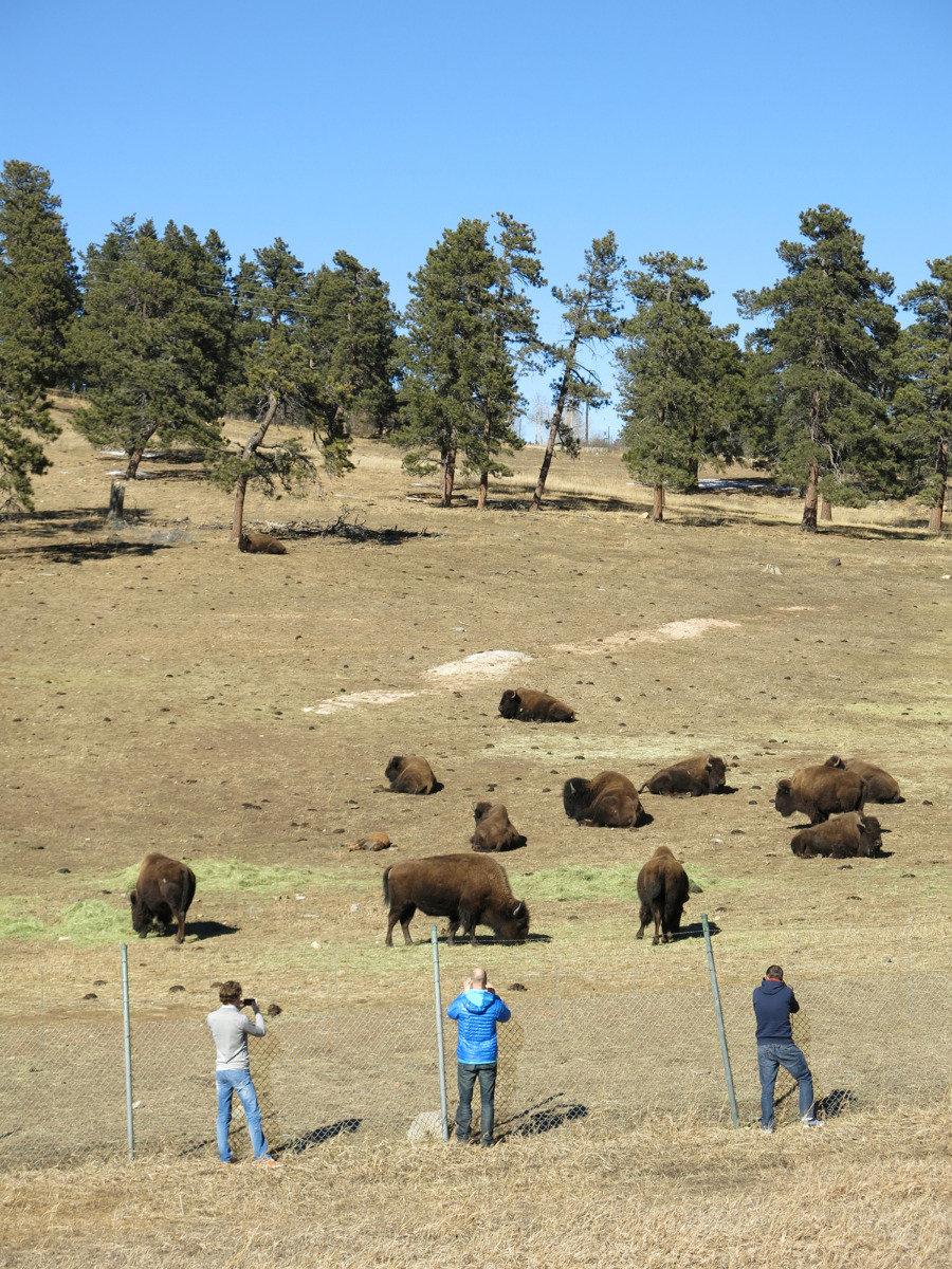Grazing bison in Denver, Colorado - ©Micaela Romani