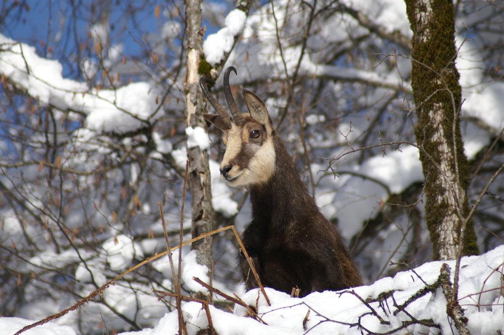Deer in snow, Chantal Bourreau/La Marmotte Bleue