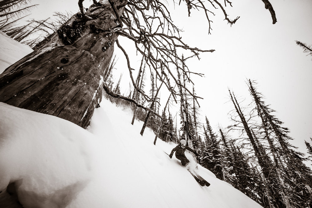 Kasper Miller finds deep soft snow around this old tree on Sunshine Village.   - © Liam Doran