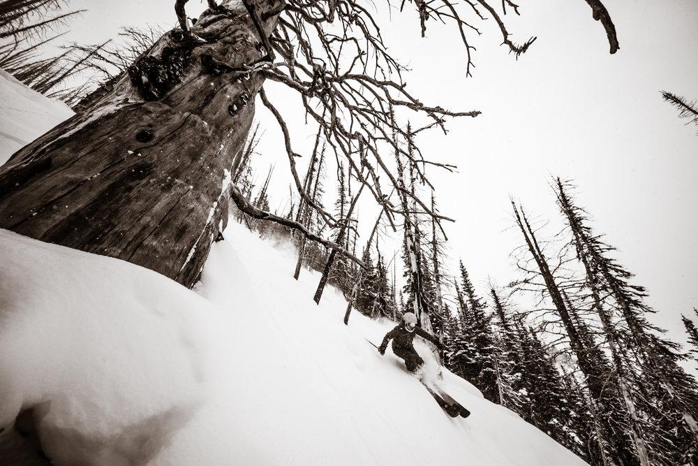 Kasper Miller finds deep soft snow around this old tree on Sunshine Village.   - © Liam Doran