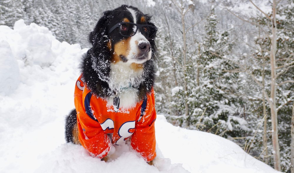 Toby the Bernese Mountain Dog (AKA Von Toby) looking pleased with Loveland's snow conditions. - © Dustin Schaefer