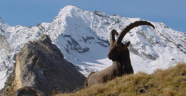 Fauna-Alpi_28mag